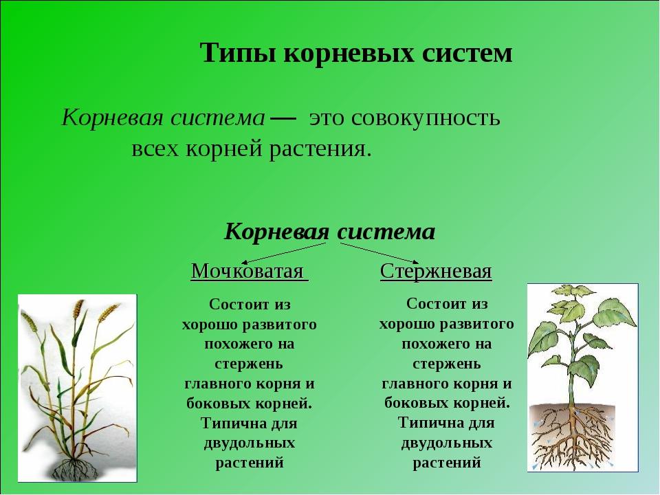 Корневая система Мочковатая Состоит из хорошо развитого похожего на стержень...