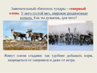 Замечательный обитатель тундры – северный олень. У него густой мех, широкие р