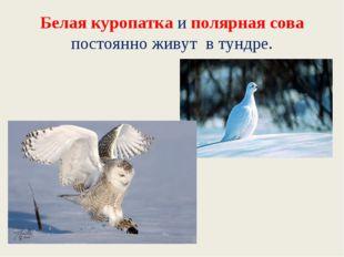 Белая куропатка и полярная сова постоянно живут в тундре.