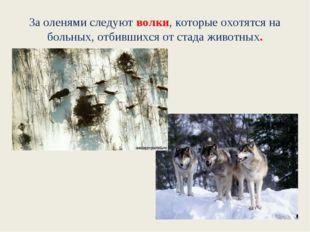 За оленями следуют волки, которые охотятся на больных, отбившихся от стада жи