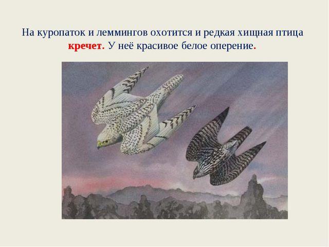 На куропаток и леммингов охотится и редкая хищная птица кречет. У неё красиво...