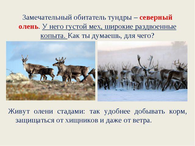 Замечательный обитатель тундры – северный олень. У него густой мех, широкие р...