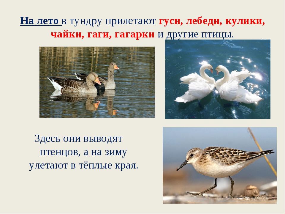 На лето в тундру прилетают гуси, лебеди, кулики, чайки, гаги, гагарки и други...