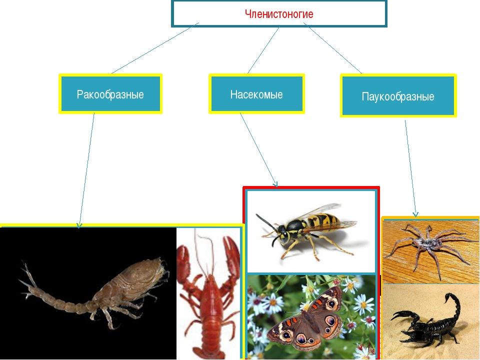 Членистоногие Ракообразные Насекомые Паукообразные