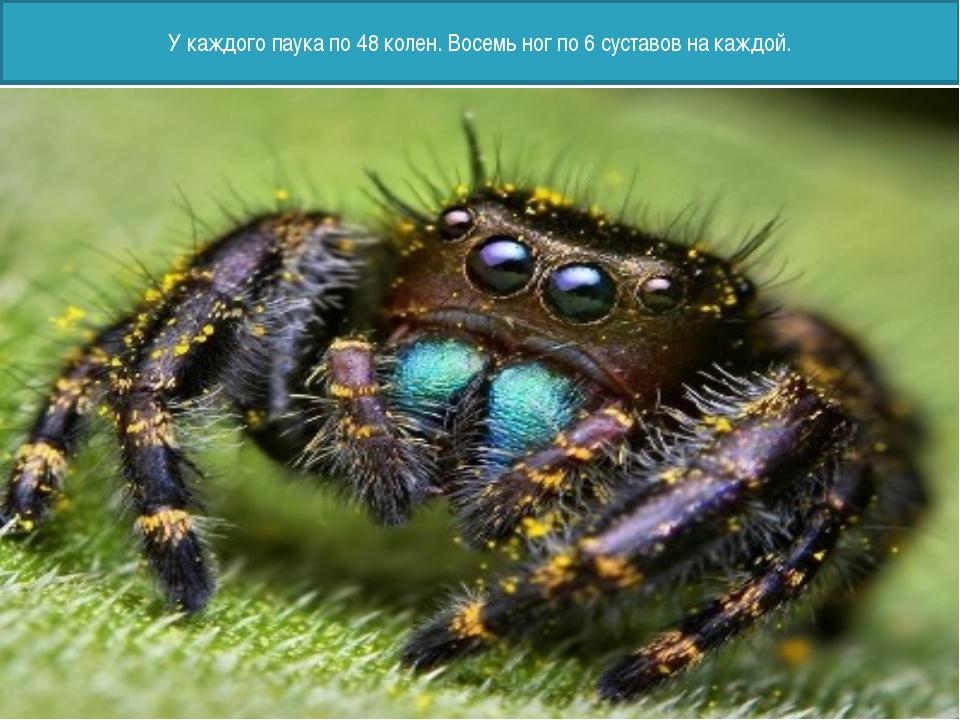 У каждого паука по 48 колен. Восемь ног по 6 суставов на каждой.