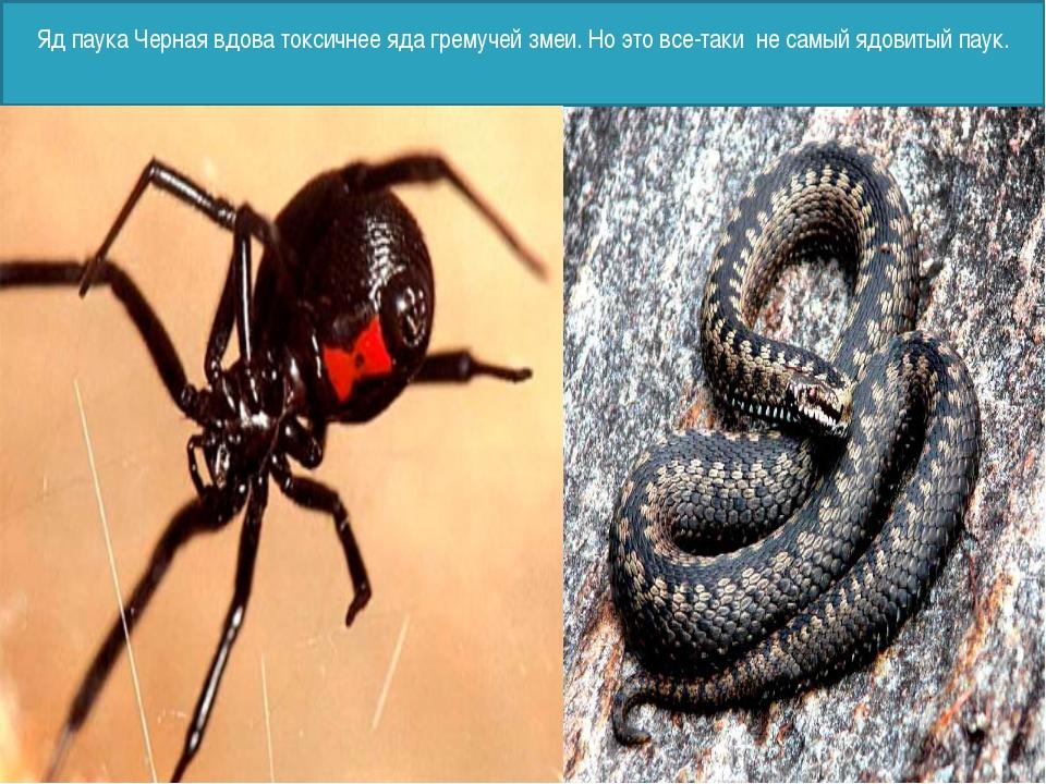 Яд паука Черная вдова токсичнее яда гремучей змеи. Но это все-таки не самый...
