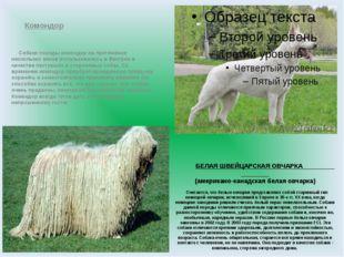 БЕЛАЯ ШВЕЙЦАРСКАЯ ОВЧАРКА (американо-канадская белая овчарка) Считается, что