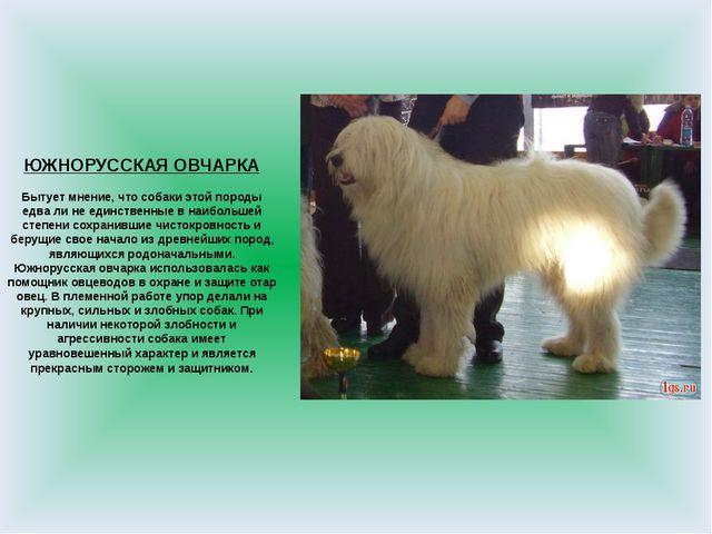 ЮЖНОРУССКАЯ ОВЧАРКА Бытует мнение, что собаки этой породы едва ли не единстве...