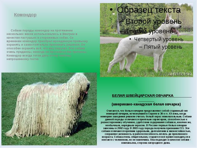 БЕЛАЯ ШВЕЙЦАРСКАЯ ОВЧАРКА (американо-канадская белая овчарка) Считается, что...