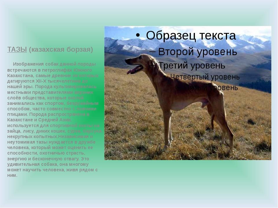 ТАЗЫ (казахская борзая) Изображения собак данной породы встречаются в петрог...