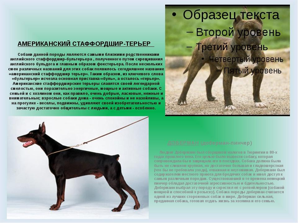 АМЕРИКАНСКИЙ СТАФФОРДШИР-ТЕРЬЕР Собаки данной породы являются самыми близкими...