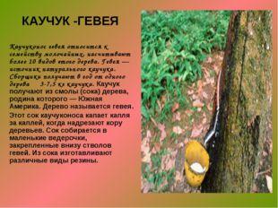 КАУЧУК -ГЕВЕЯ Каучуконос гевея относится к семейству молочайных, насчитывают