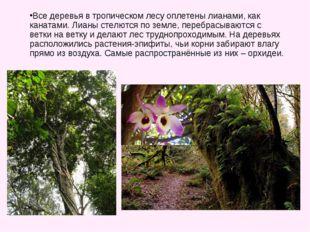 Все деревья в тропическом лесу оплетены лианами, как канатами. Лианы стелются