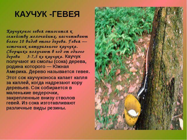 КАУЧУК -ГЕВЕЯ Каучуконос гевея относится к семейству молочайных, насчитывают...