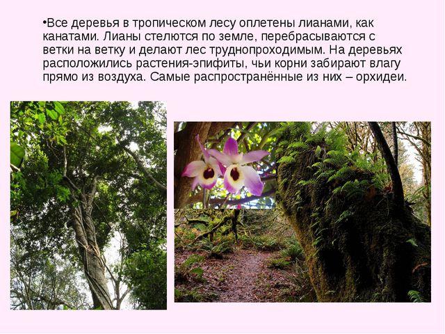 Все деревья в тропическом лесу оплетены лианами, как канатами. Лианы стелются...