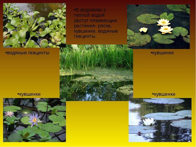 В водоемах с теплой водой растут плавающие растения- ряска, кувшинки, водяные...