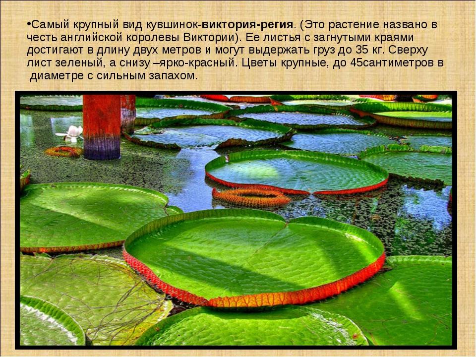 Самый крупный вид кувшинок-виктория-регия. (Это растение названо в честь англ...
