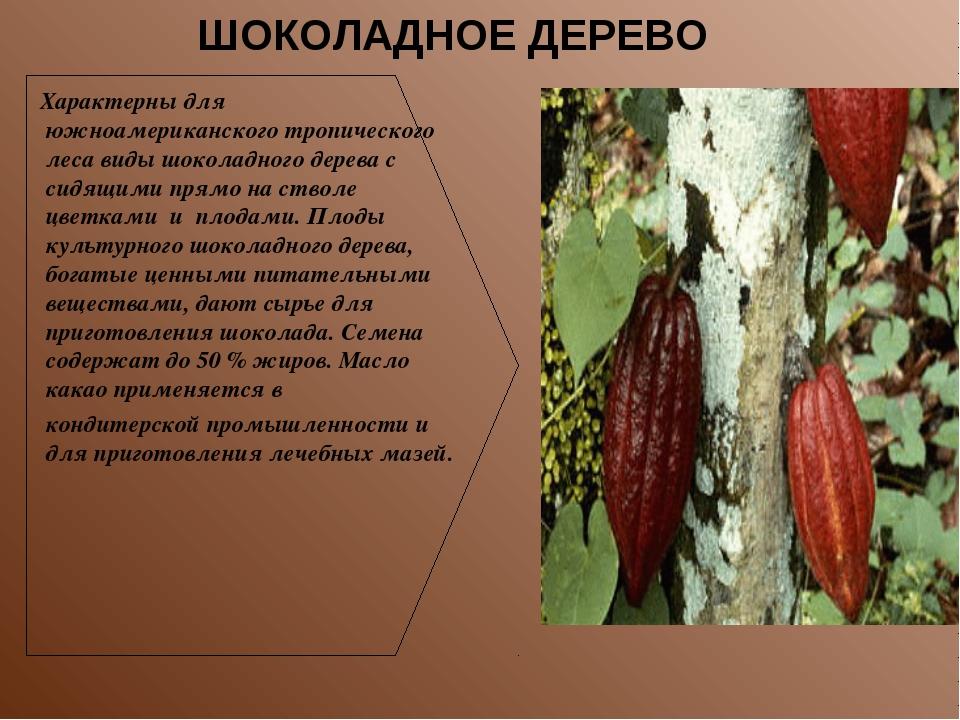 Характерны для южноамериканского тропического леса виды шоколадного дерева с...