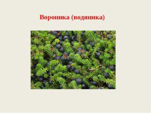 Вороника (водяника)