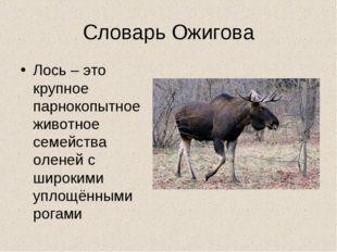 Словарь Ожигова Лось – это крупное парнокопытное животное семейства оленей с