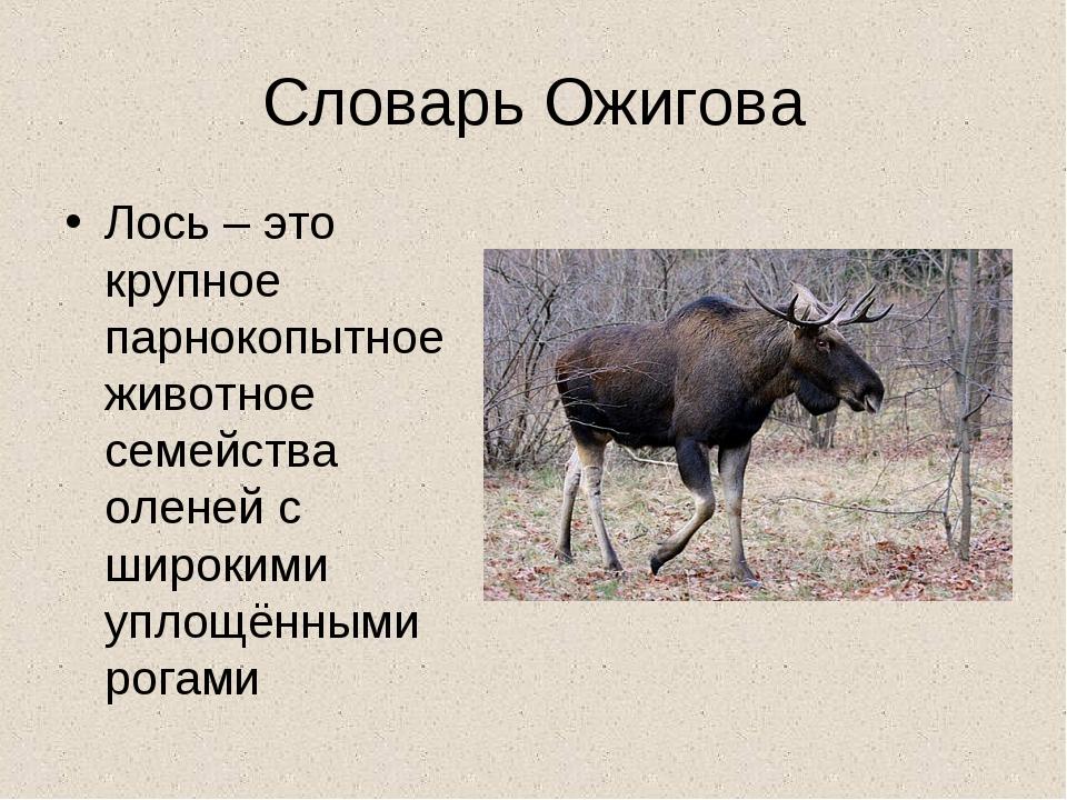 Словарь Ожигова Лось – это крупное парнокопытное животное семейства оленей с...