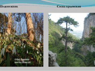 Подснежник Сосна крымская