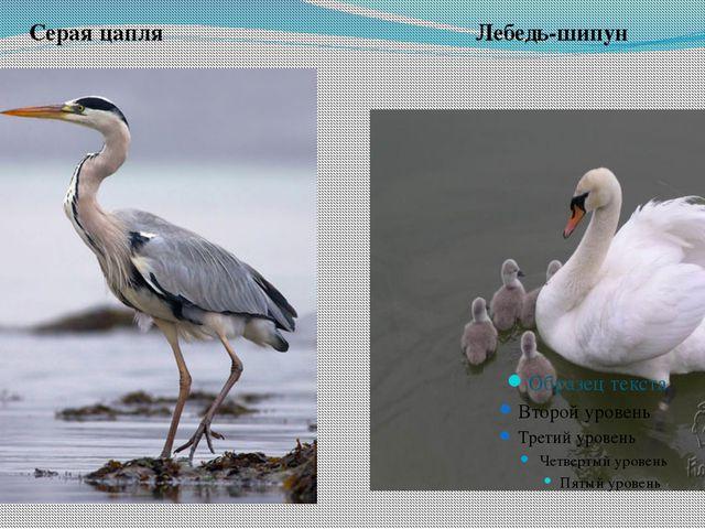 Серая цапля Лебедь-шипун