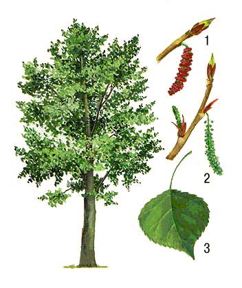 Распространение плодов и семян - Строение растений - Фото по биологии