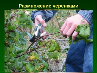 Размножение черенками