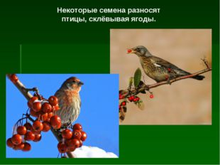 Некоторые семена разносят птицы, склёвывая ягоды.