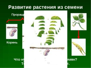 Развитие растения из семени Корень Росток Взрослое растение Проращивание Что