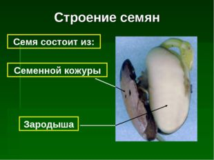 Строение семян Семя состоит из: Семенной кожуры Зародыша