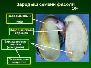 Питательные вещества Зародышевые листья (семядоли) Зародышевый корешок Зароды