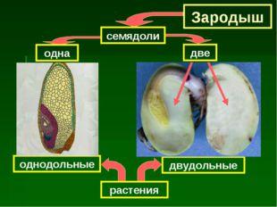 Зародыш семядоли одна растения однодольные двудольные две