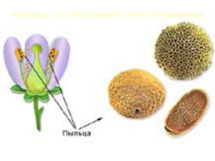 Пыльца – это мельчайшие желтые зёрнышки