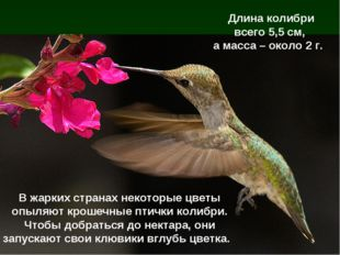 В жарких странах некоторые цветы опыляют крошечные птички колибри. Чтобы добр