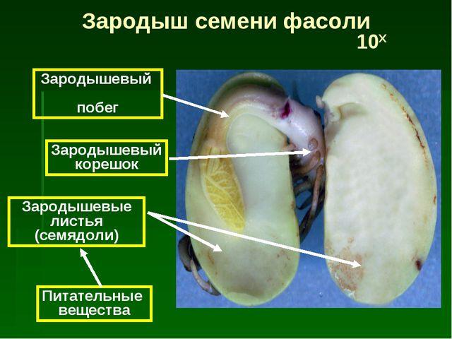 Питательные вещества Зародышевые листья (семядоли) Зародышевый корешок Зароды...