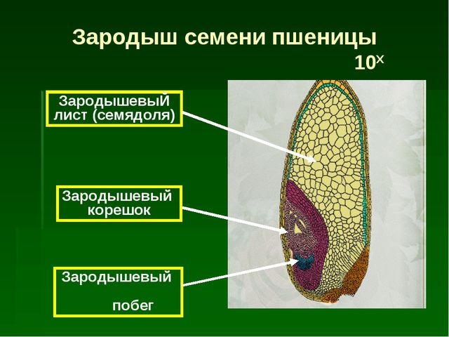ЗародышевыЙ лист (семядоля) Зародышевый корешок Зародышевый побег Зародыш сем...