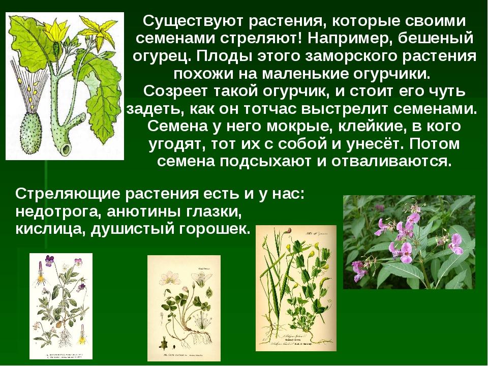 Существуют растения, которые своими семенами стреляют! Например, бешеный огур...