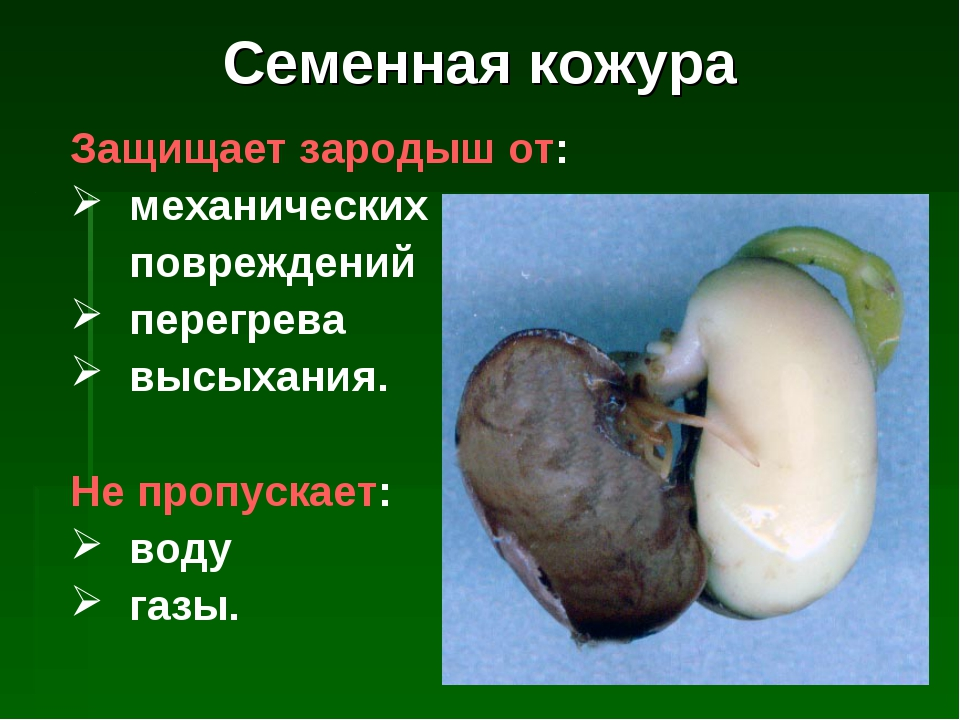 Семенная кожура Защищает зародыш от: механических повреждений перегрева высых...