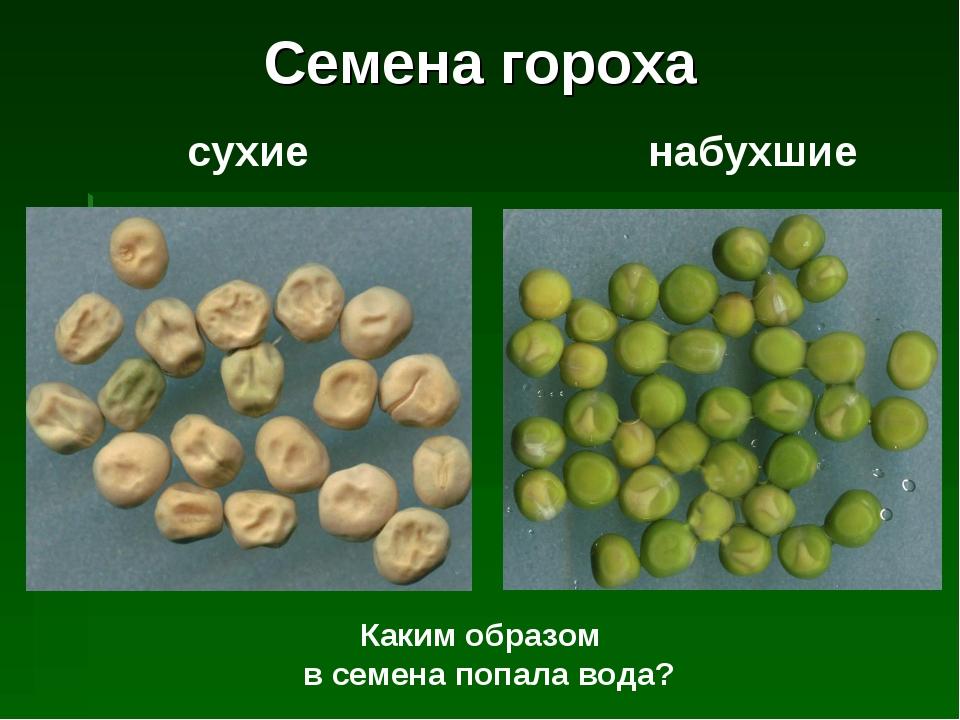 сухие набухшие Каким образом в семена попала вода? Семена гороха
