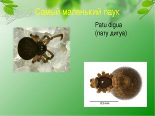 Самый маленький паук Patu digua (пату дигуа)
