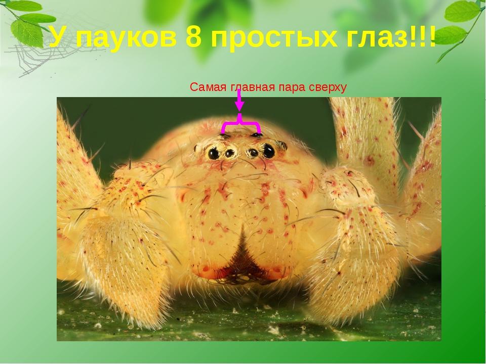У пауков 8 простых глаз!!! Самая главная пара сверху