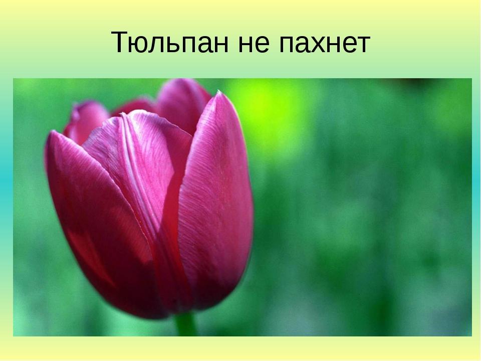 Тюльпан не пахнет