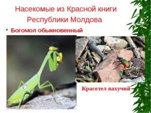 Насекомые из Красной книги Республики Молдова Богомол обыкновенный Красотел п