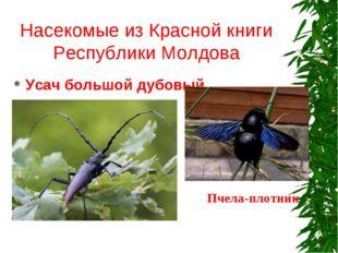 Насекомые из Красной книги Республики Молдова Усач большой дубовый Пчела-плот