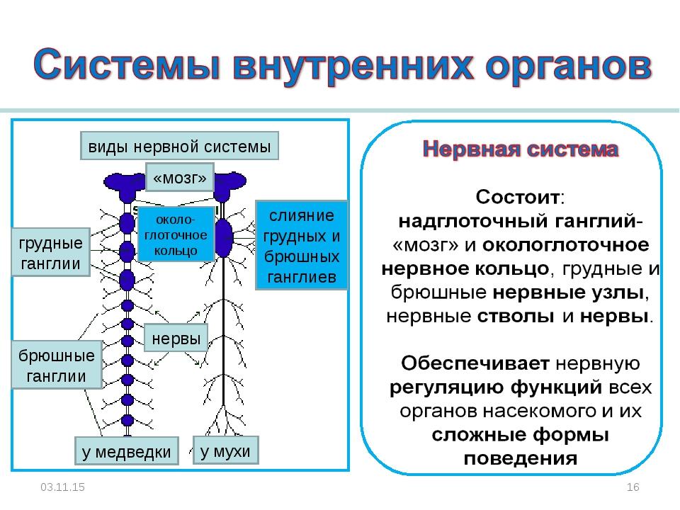 * * виды нервной системы слияние грудных и брюшных ганглиев около- глоточное...
