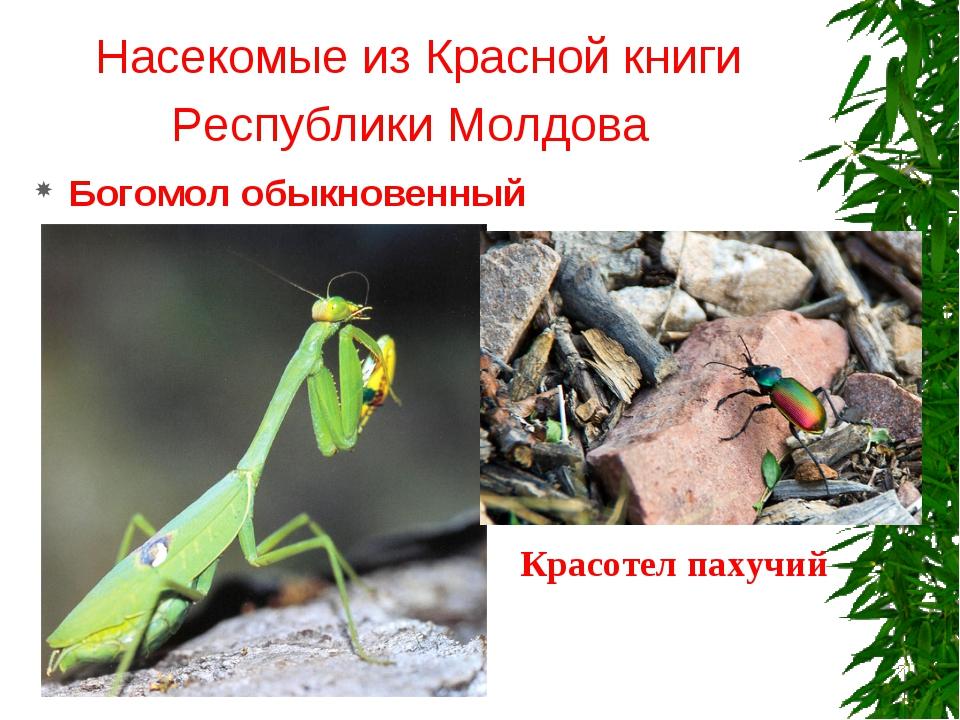 Насекомые из Красной книги Республики Молдова Богомол обыкновенный Красотел п...