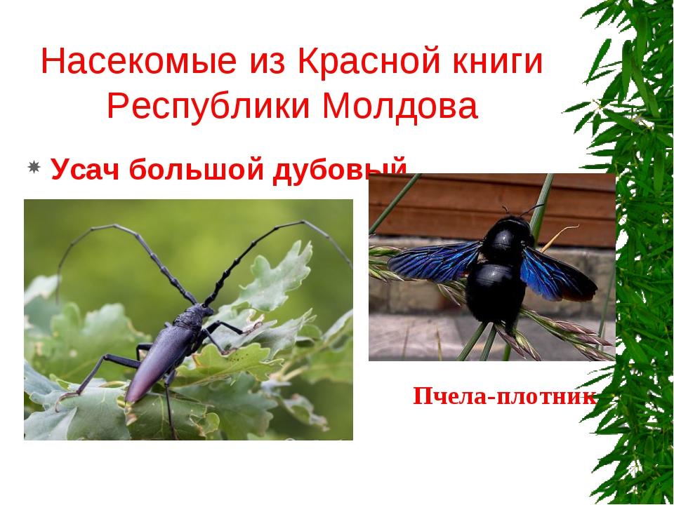 Насекомые из Красной книги Республики Молдова Усач большой дубовый Пчела-плот...