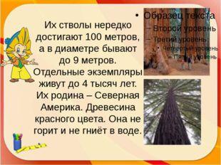 Их стволы нередко достигают 100 метров, а в диаметре бывают до 9 метров. Отде
